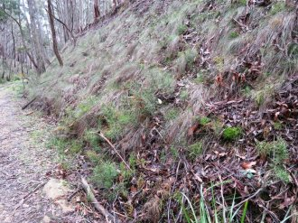 Bushy Clubmoss on the slope of the old rail cutting